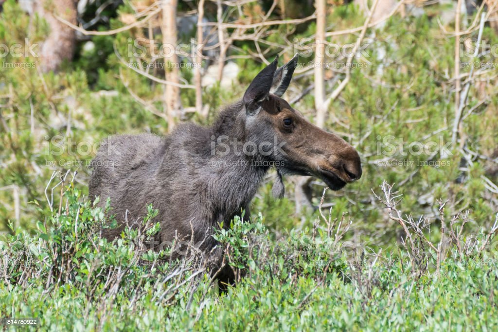 Cow Moose in The Colorado Rocky Mountains stock photo