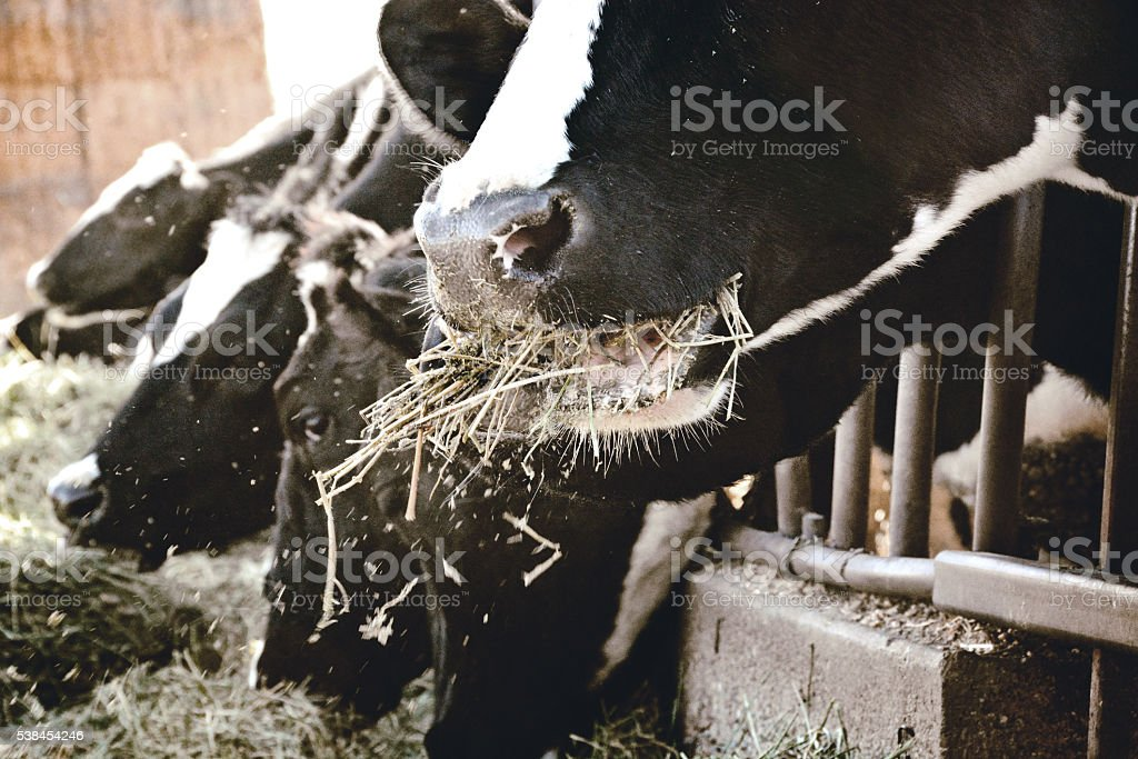 Cow Mouth Eating stock photo
