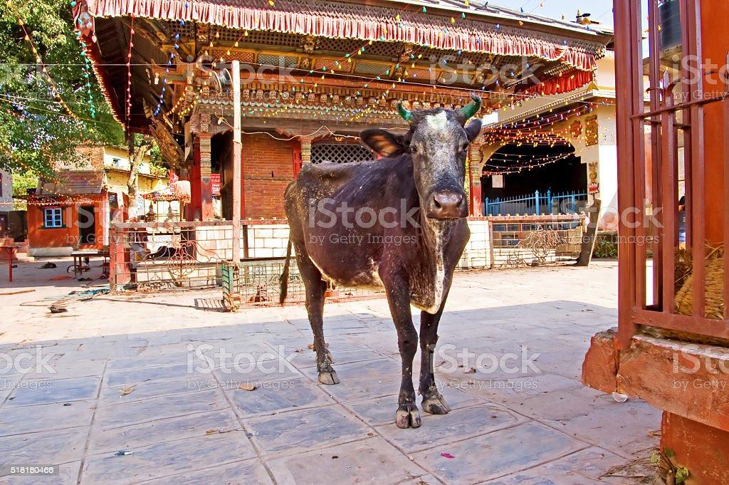Cow near a Buddhist temple, Kathmandu, Nepal stock photo