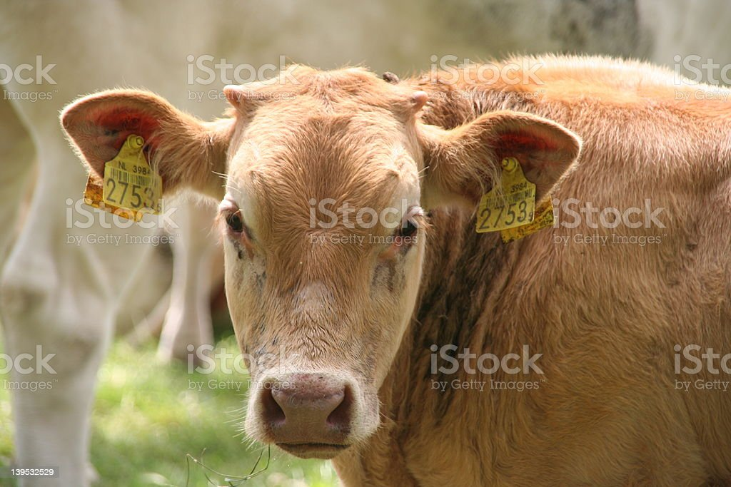 cow nr. 2753 stock photo