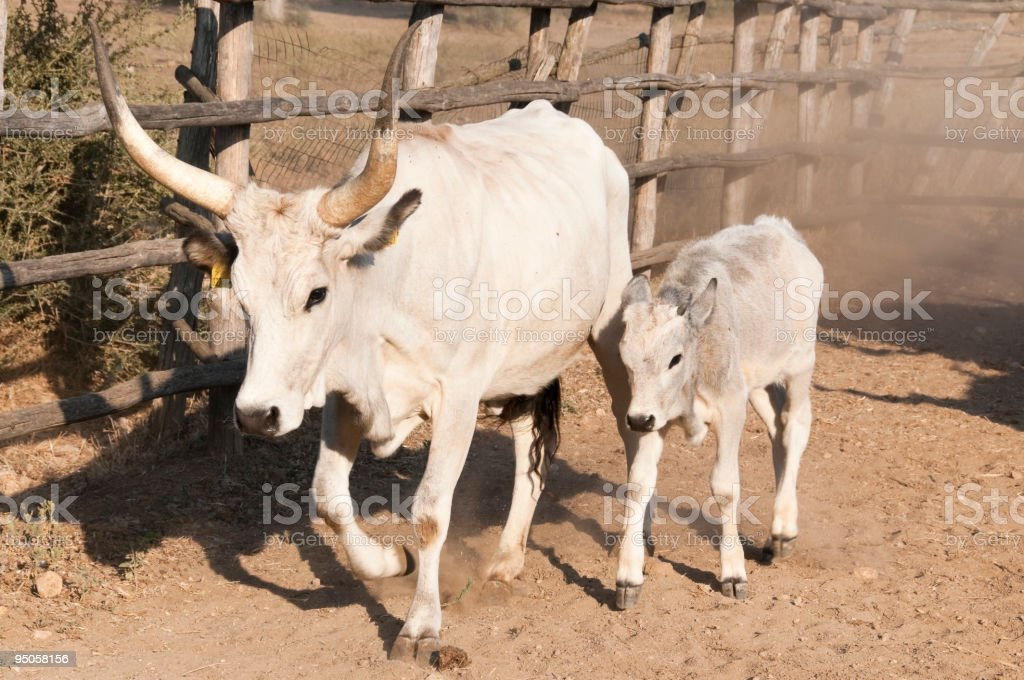 Cow of Maremma royalty-free stock photo