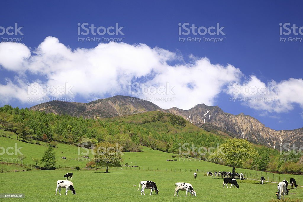 Cow of the plateau stock photo