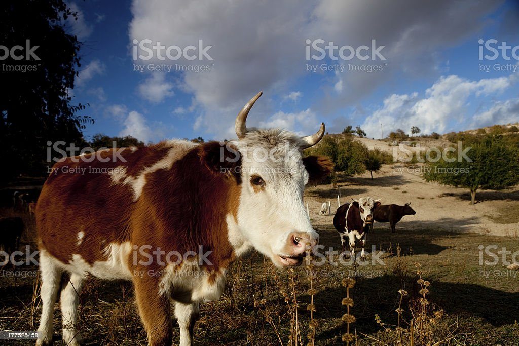 Cow on a autumn pasture royalty-free stock photo