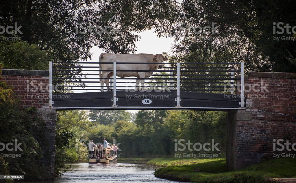 cow on a canal tow path bridge, with narrow stock photo