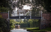 cow on a canal tow path bridge, with narrow