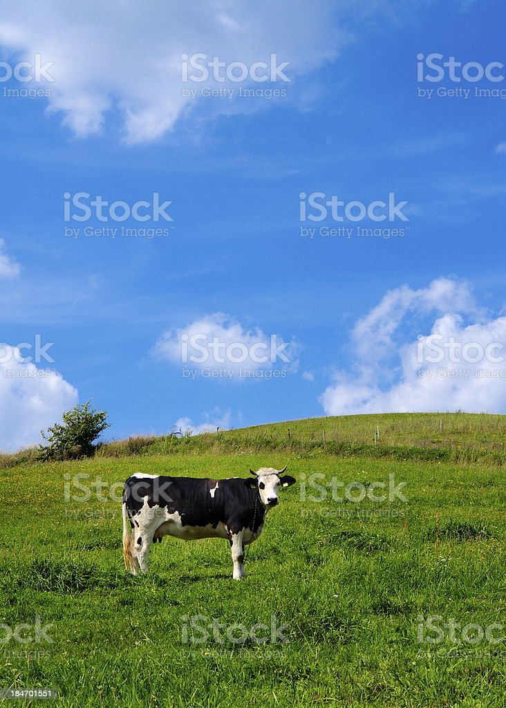 Cow on a Green Field royalty-free stock photo