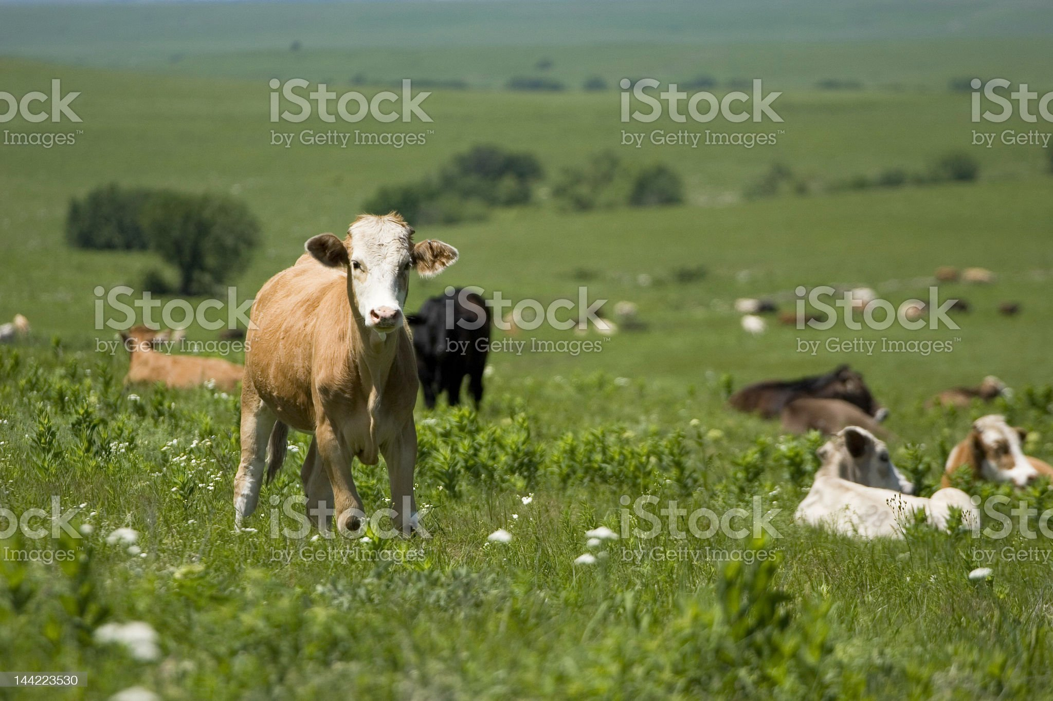 cow on a hill royalty-free stock photo