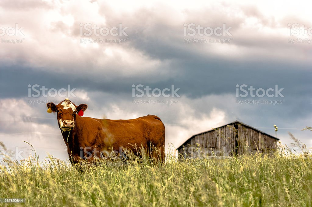 Cow on a hill with barn in background stock photo
