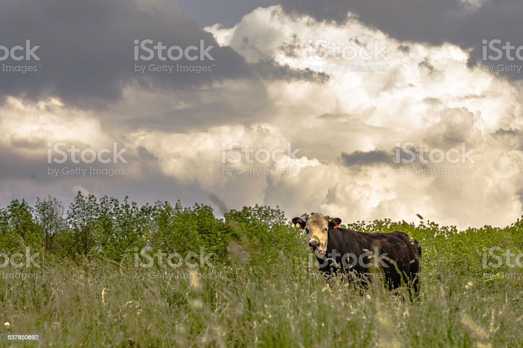 Cow on a hill with cumulus clouds stock photo