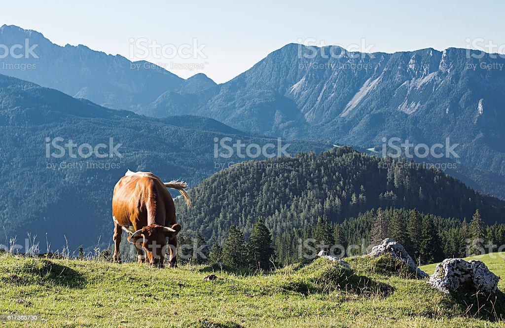 Cow on a mountain stock photo