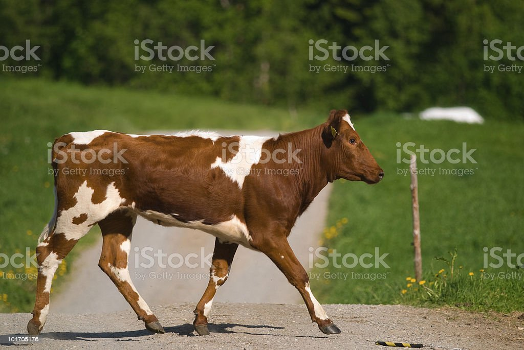 Cow on a road stock photo