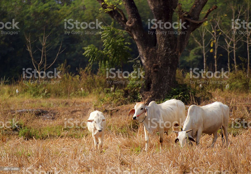 Cow on a summer cornfield royalty-free stock photo