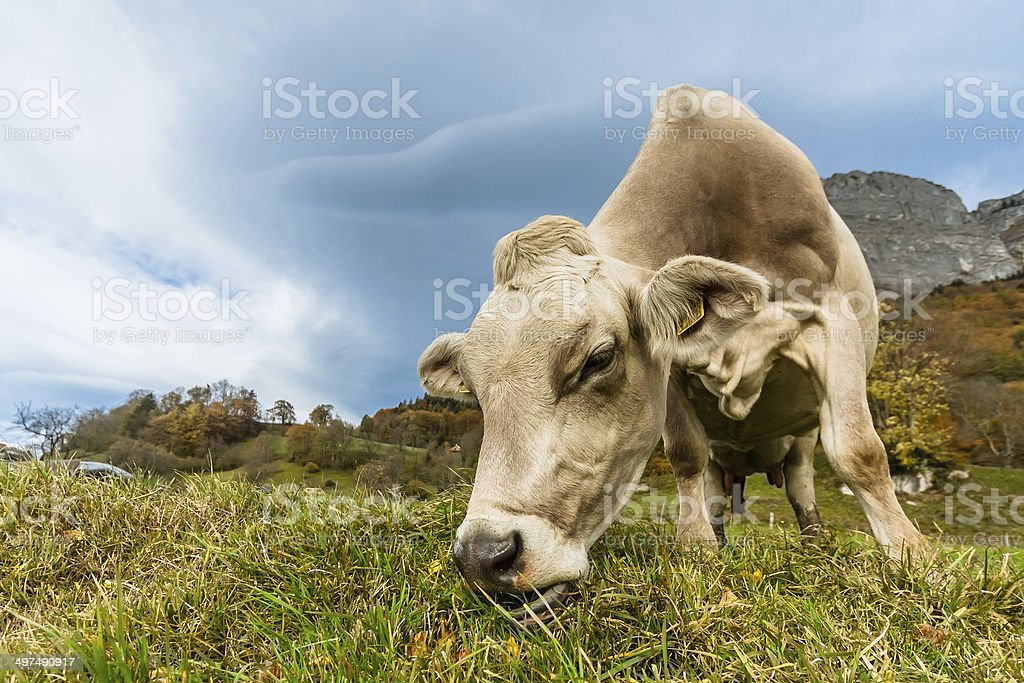 Cow on a Swiss Meadow stock photo
