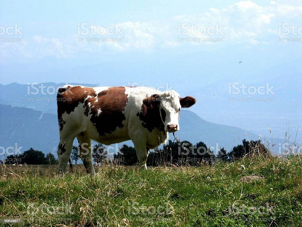cow on alpine pasture royalty-free stock photo