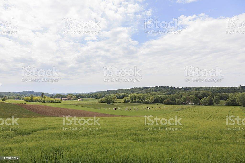 Cow on grass field in Crimea, Ukraine. stock photo