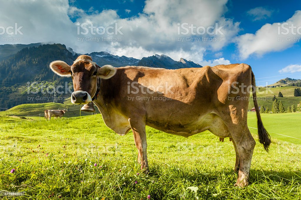 cow on grass royalty-free stock photo