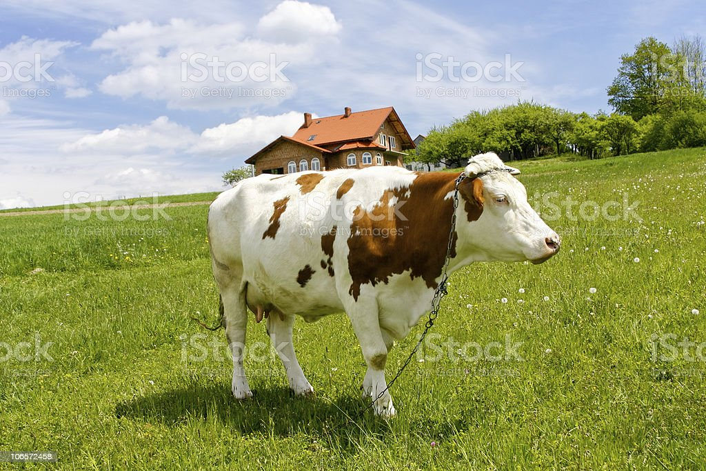 Cow on green field stock photo