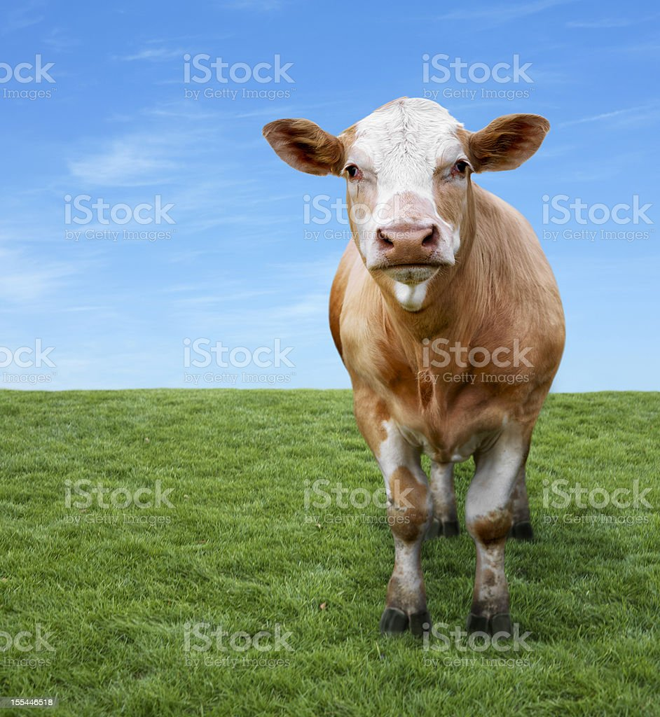 Cow on green field with copyspace stock photo