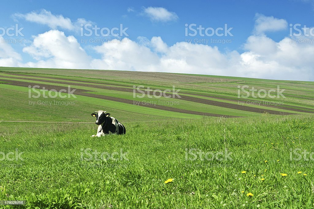 cow on green grass royalty-free stock photo