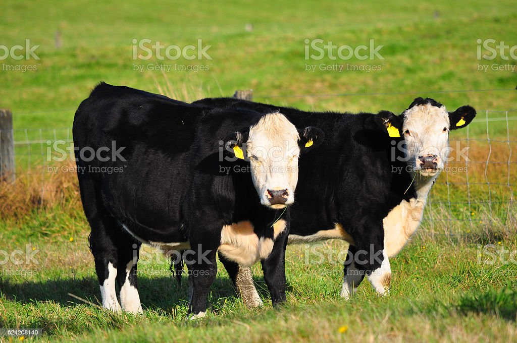 Cow on green grass stock photo