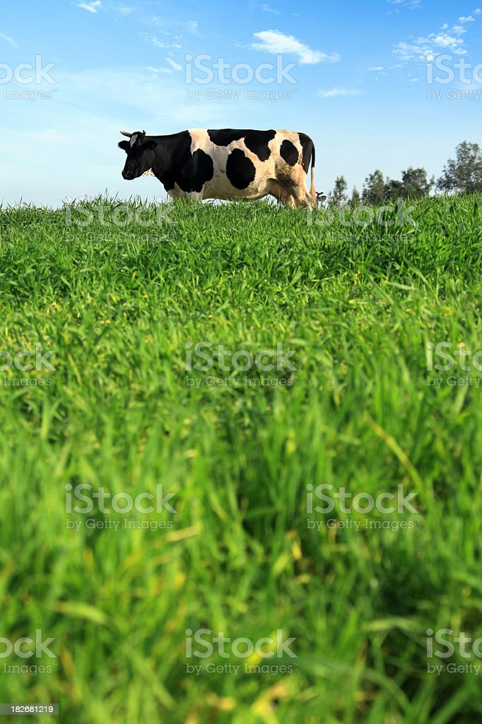 cow on green stock photo
