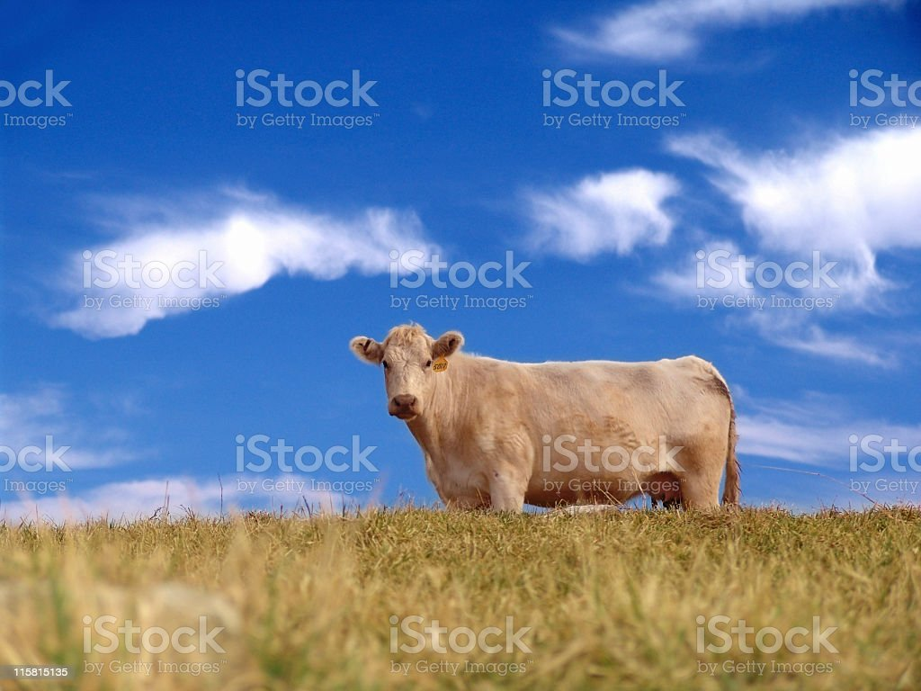 Cow on Hill royalty-free stock photo