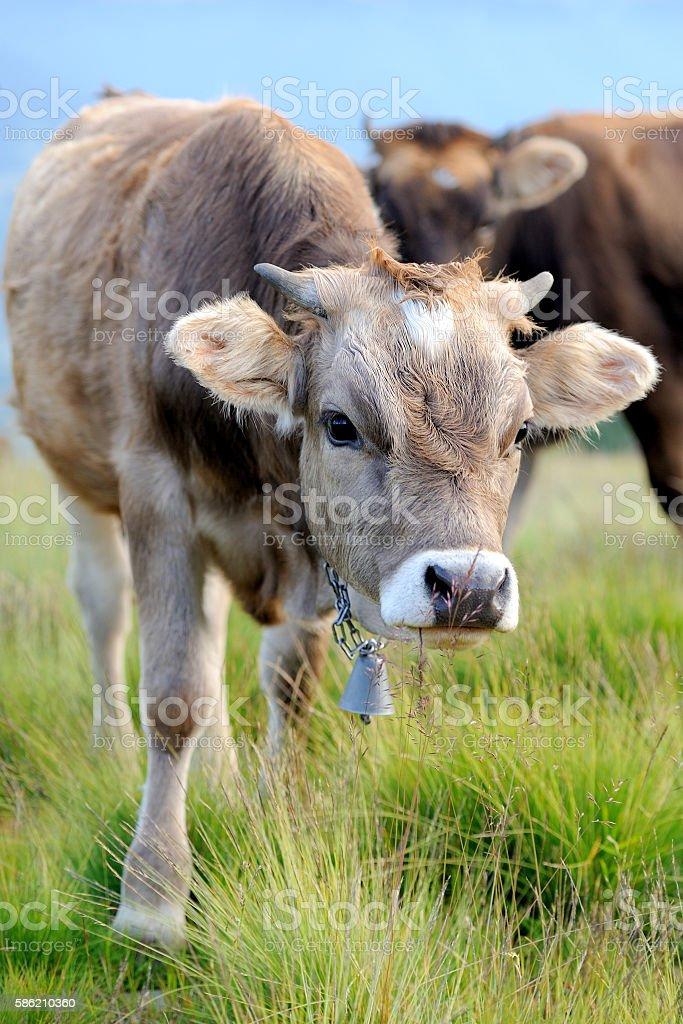Cow on mountain pasture stock photo