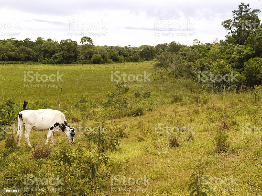 Cow on pasture. Farming in Paraguay, South America stock photo