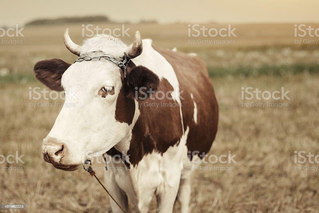 Vache sur un Pâturage d'automne photo libre de droits