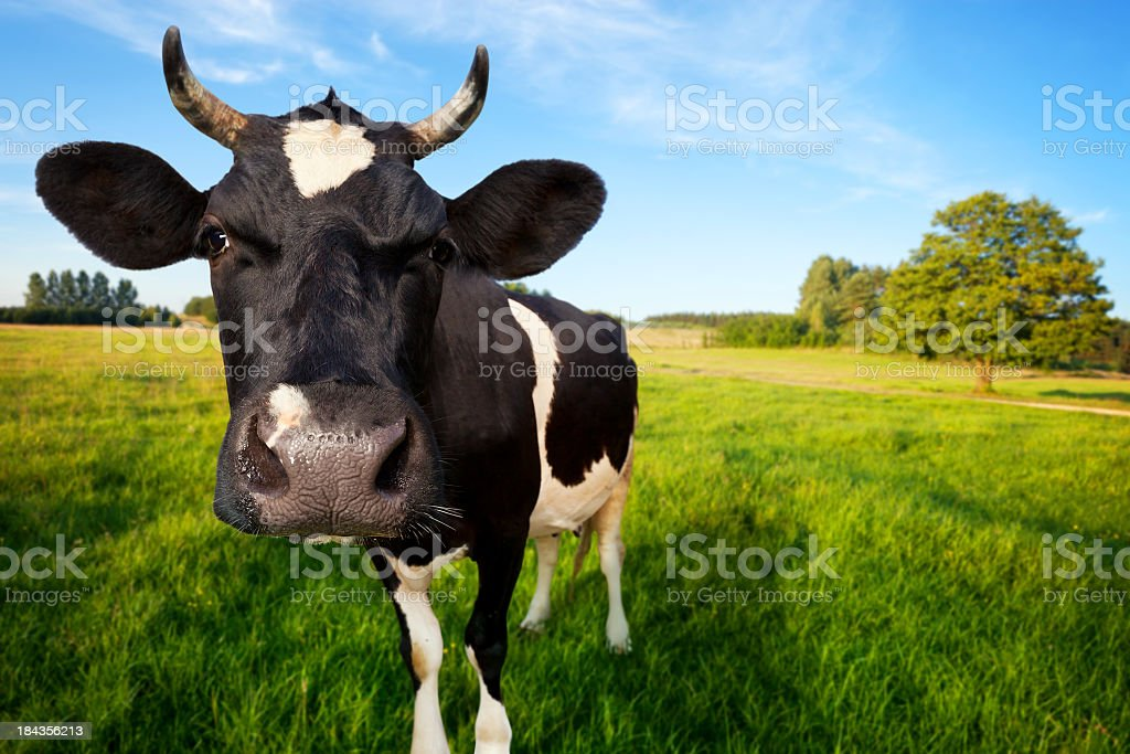 Cow on pasture royalty-free stock photo