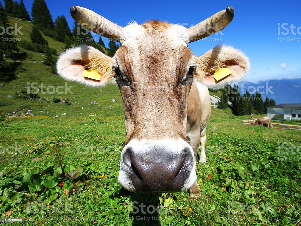 Cow on the alps royalty-free stock photo