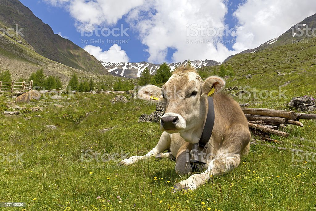 Cow on the European Alps royalty-free stock photo