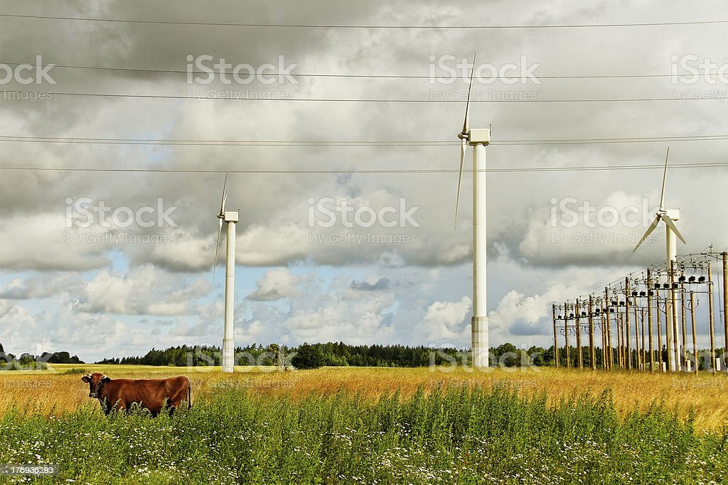 Cow on the field. royalty-free stock photo