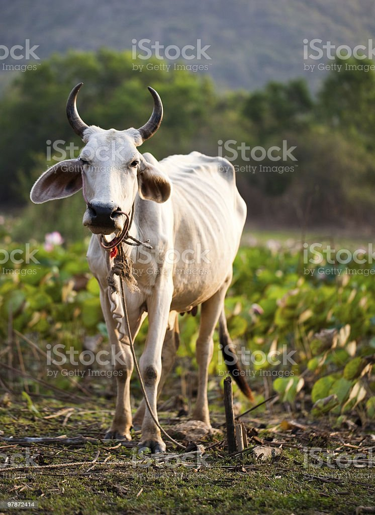 Cow on the lotus field royalty-free stock photo