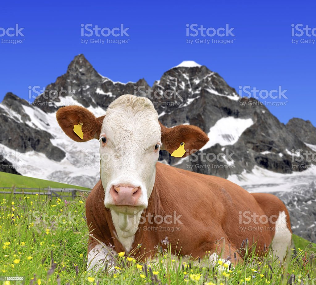 Cow on the meadow royalty-free stock photo