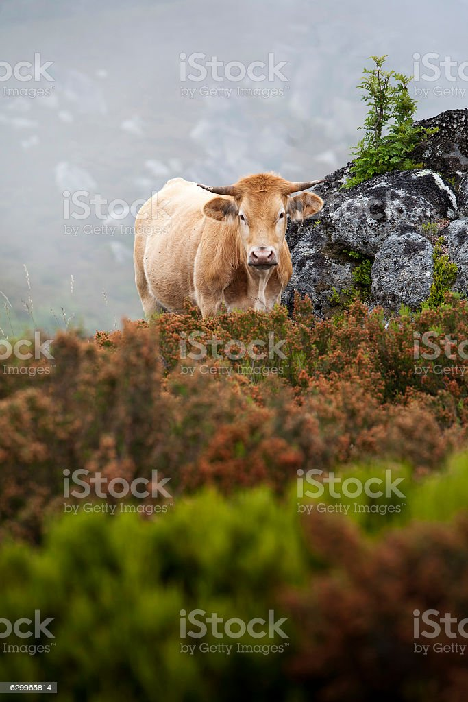 Cow on the mountain at San Mamede, Galicia, Spain stock photo