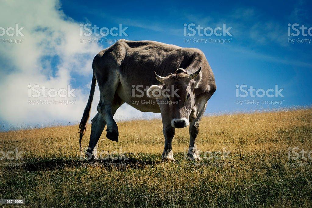 Cow on the mountain stock photo