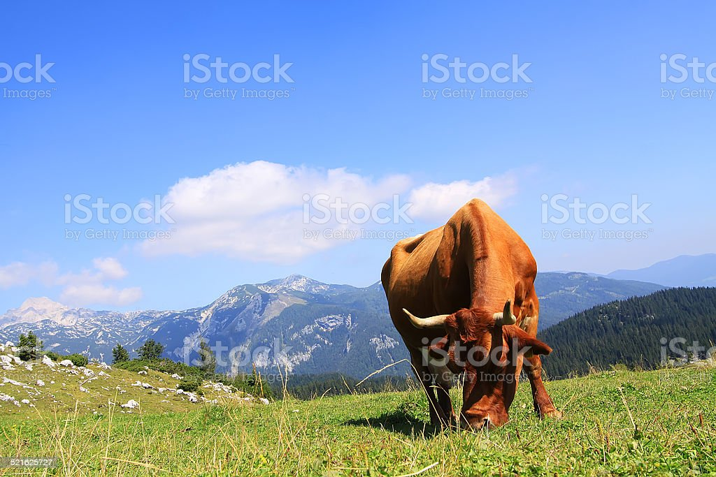 Cow on the mountains pasture stock photo