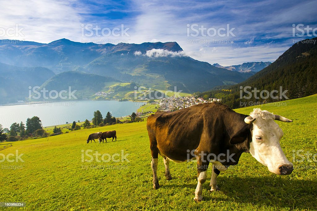 Cow on the pasture in South Tyrol royalty-free stock photo