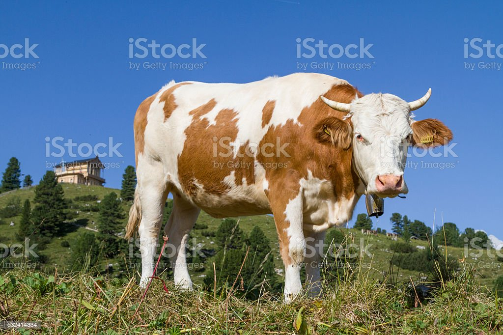 cow on the Schachen stock photo