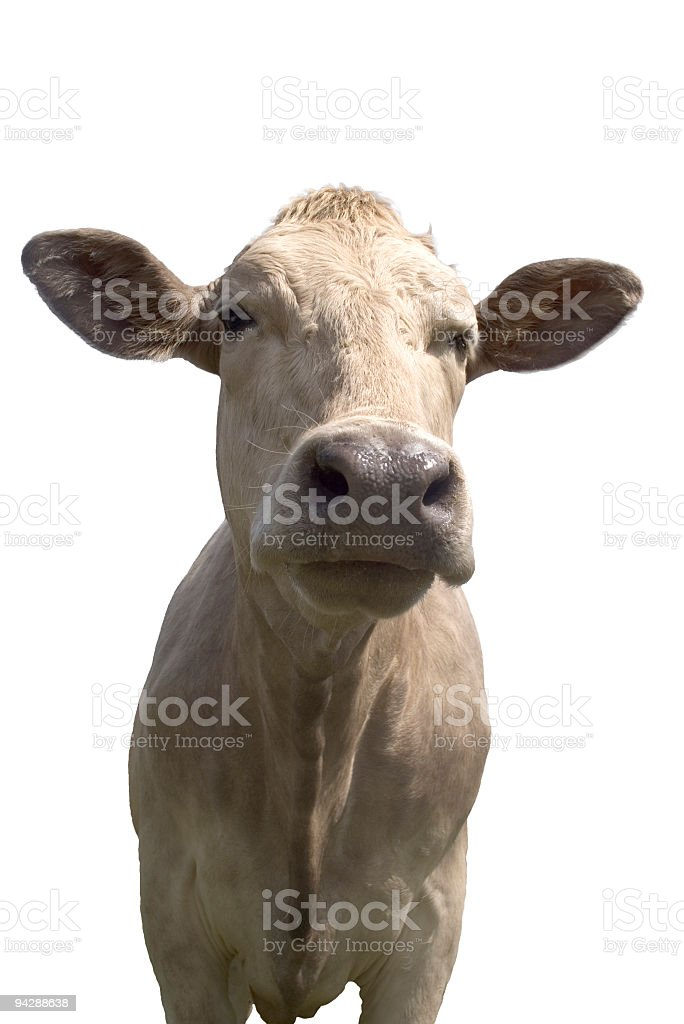 Cow on white background with clipping path stock photo