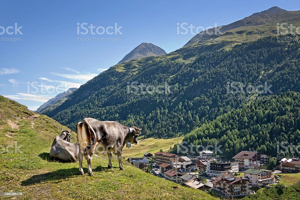 Cow overlooking the village of Vent in Otztal, Tyrol, Austria stock photo