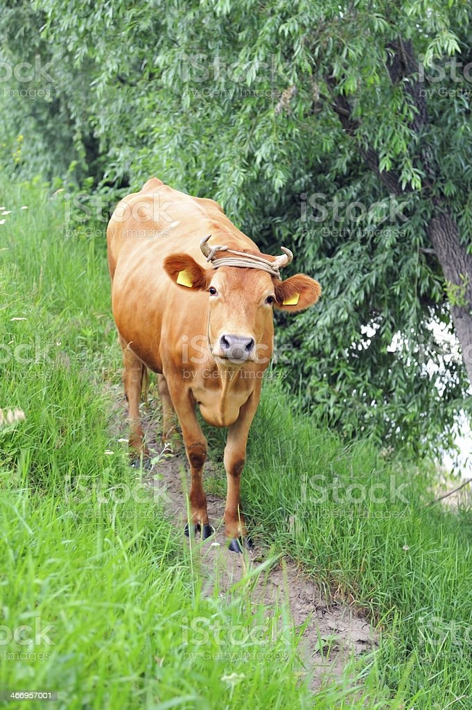 Cow pale brown color goes towards  path. royalty-free stock photo