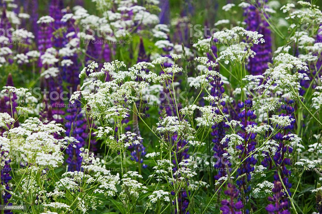 Cow parsley, Anthriscus sylvestris and lupine stock photo