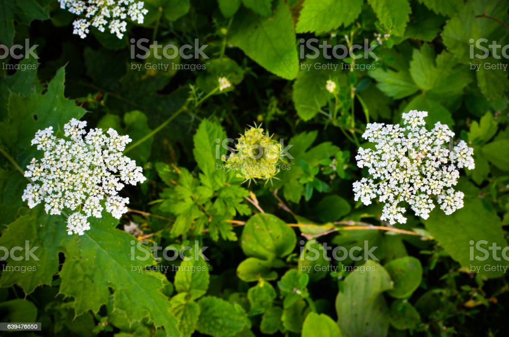 Cow Parsley Anthriscus sylvestris - white summer field flower stock photo