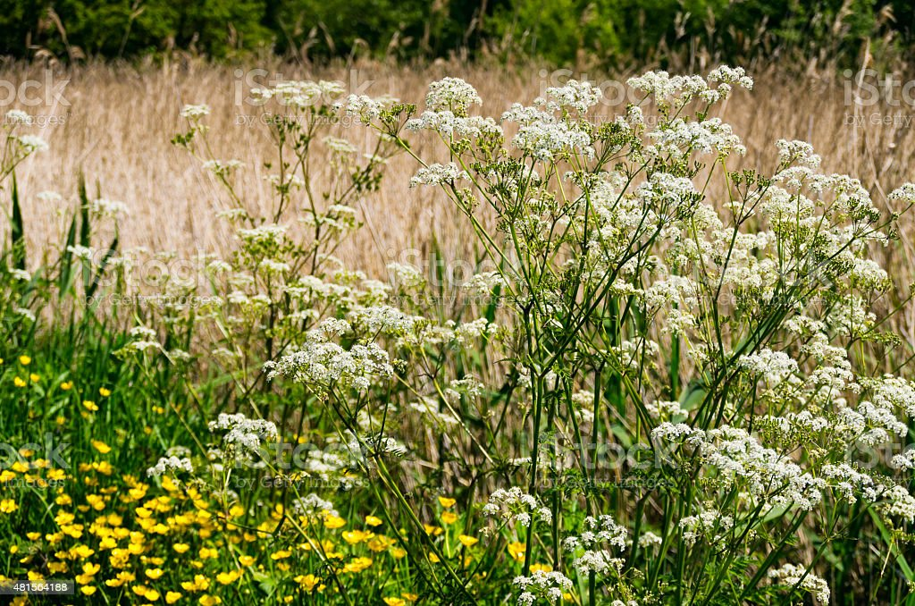 Cow parsley beside a marsh stock photo