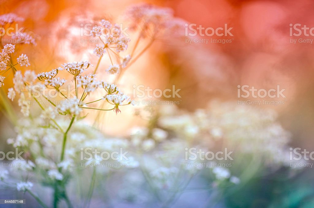 Cow parsley close-up stock photo