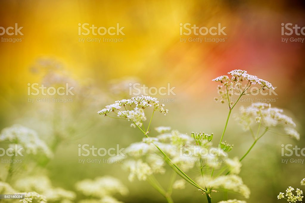 Cow parsley (Anthriscus sylvestris), meadow flowers stock photo