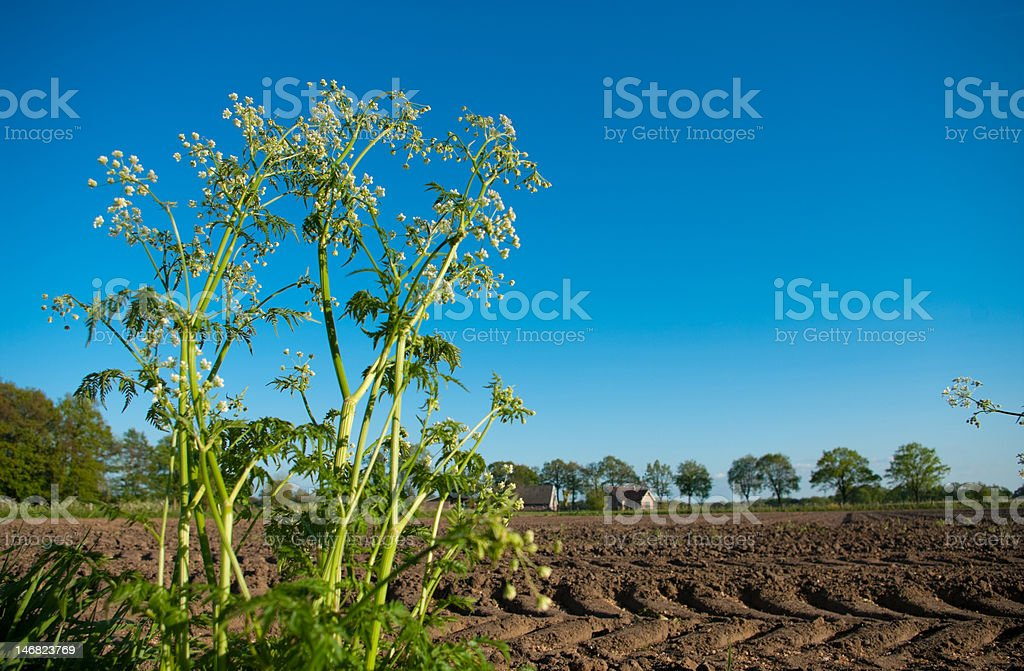cow parsley royalty-free stock photo