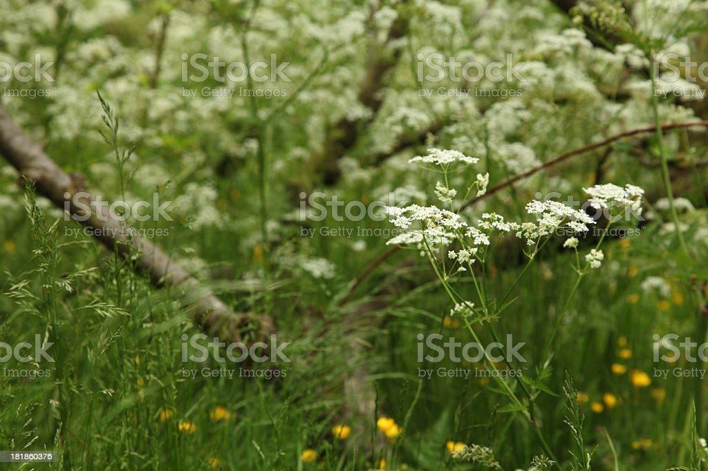 Cow parsley stock photo